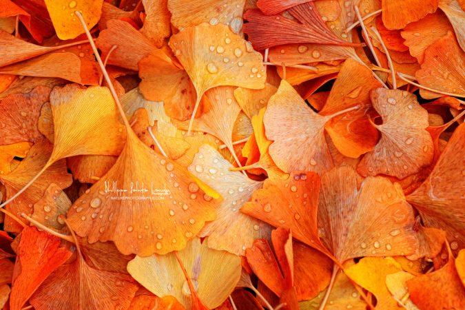 Feuille de Ginkgo en automne après la pluie