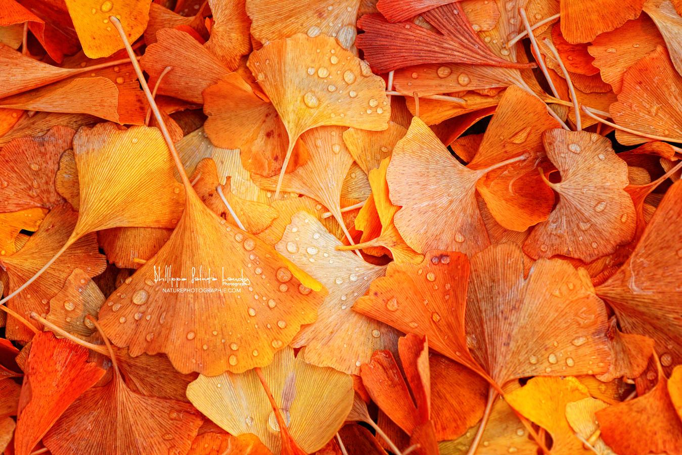Feuille de Ginkgo en automne
