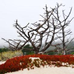 Carmel Trees