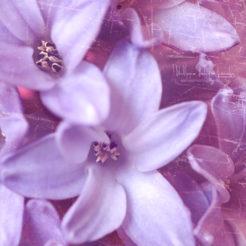 Mars, saison des Jacinthes