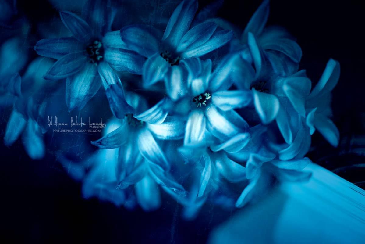Jacinthe-Bleu