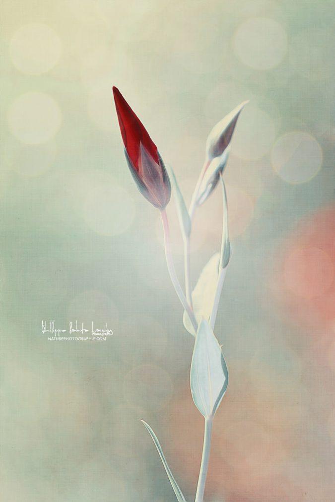 Bourgeon de tulipe rouge avec texture