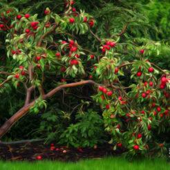 L'arbre aux pommes