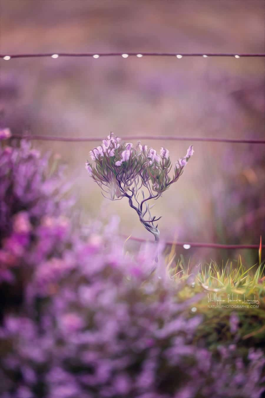 Bruyère en Écosse
