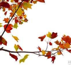 Dernières feuilles d'automne