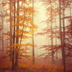Automne, arbres et brouillard