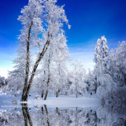 Des arbres en hiver