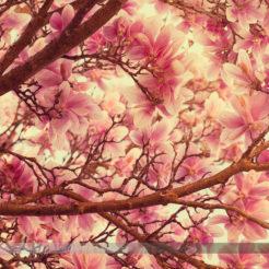 Les magnolias en avril