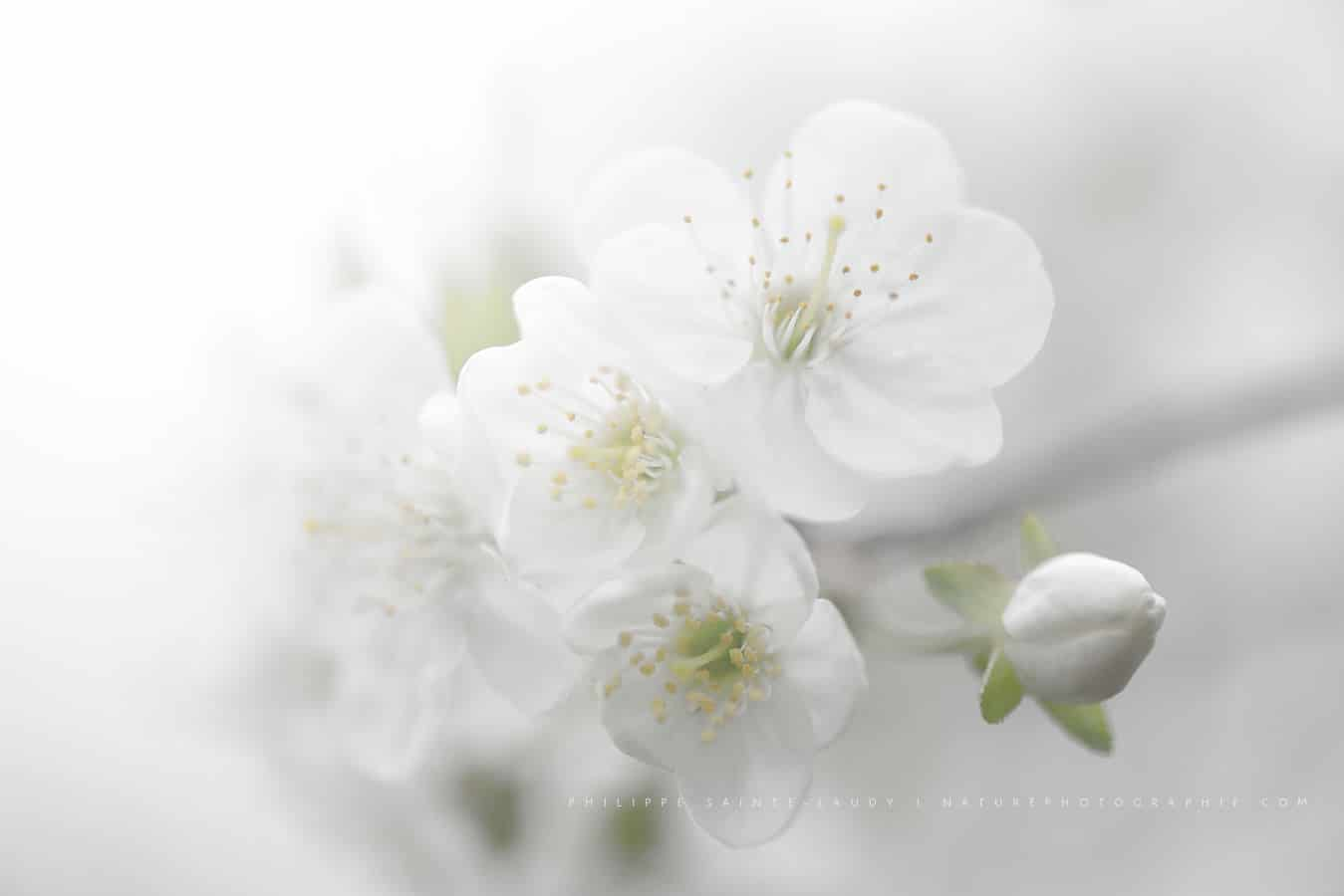Cerisiers En Fleurs Nature Photographie