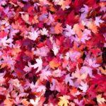 Tapis de feuilles rouges d'érable