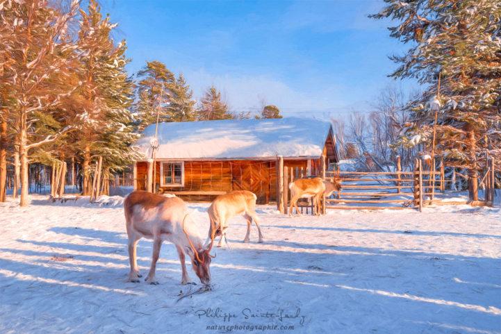 Des rennes devant une ferme en Laponie