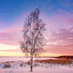 Arbre glacé à Oulu