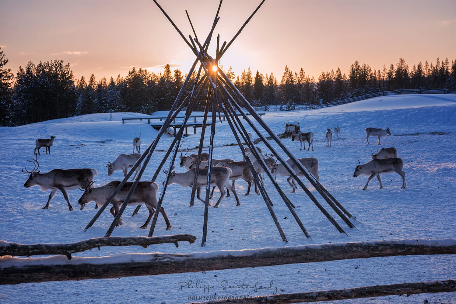 Reindeer at sunset