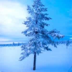 Sapin enneigé en Finlande