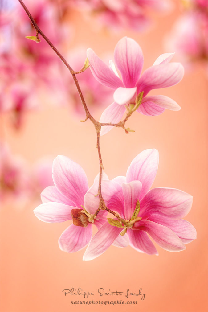 Photo de Magnolias en gros plan