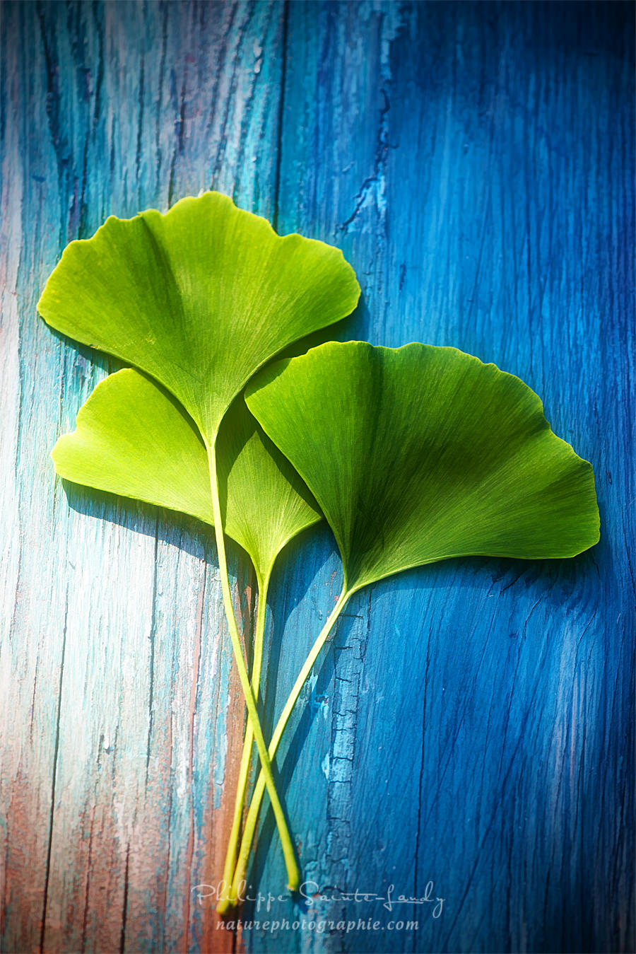 Three leaves of Ginkgo
