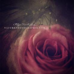 Roses et texture