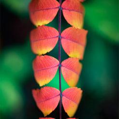 Patterns d'automne avec le Sumac de Virginie