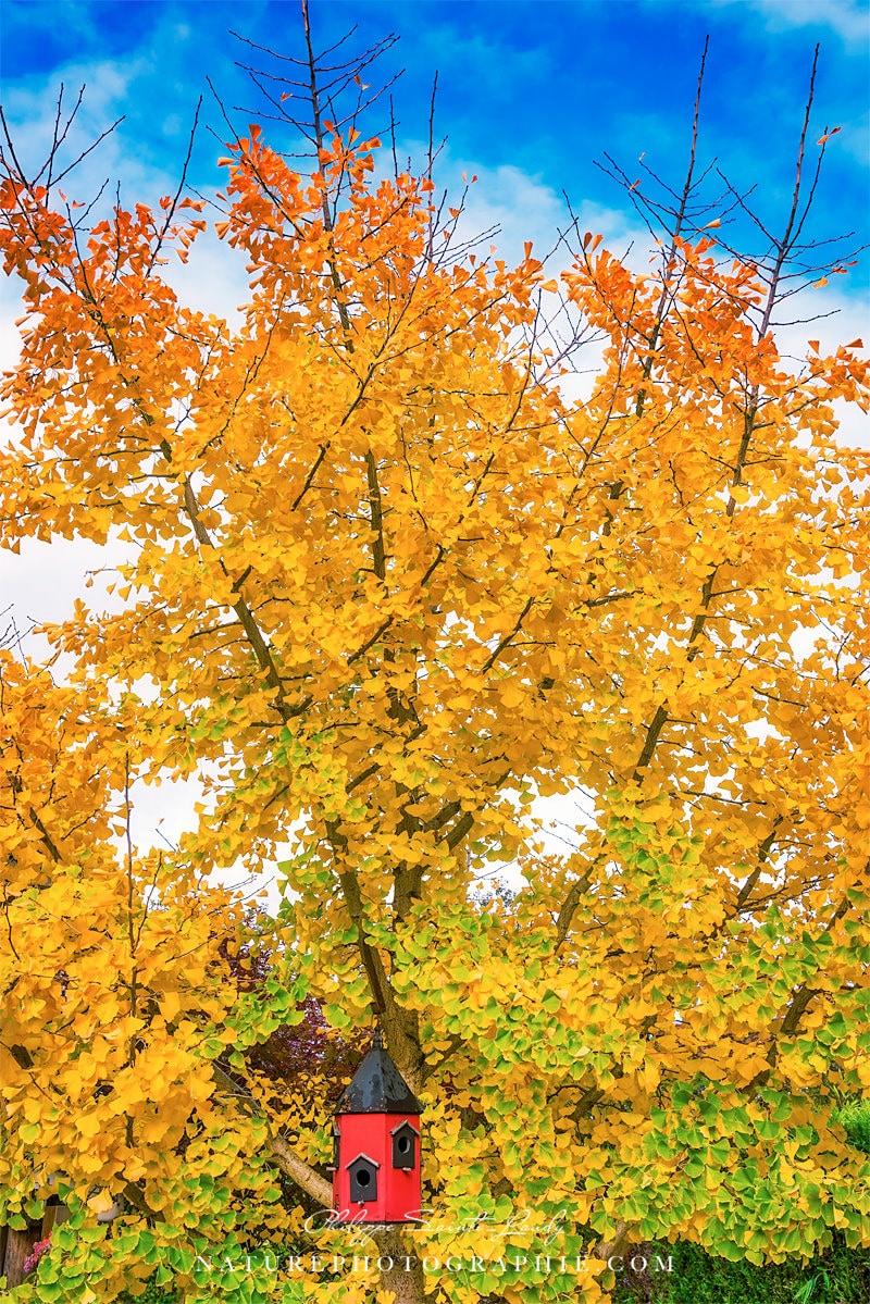 Ginkgo en automne