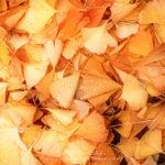 Feuilles de ginkgo biloba en automne