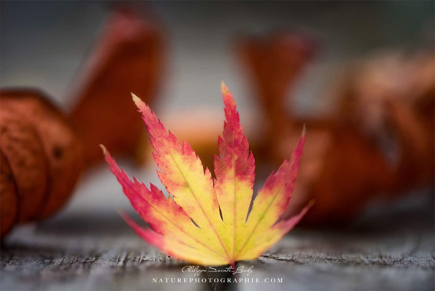 Featured Maple Leaf
