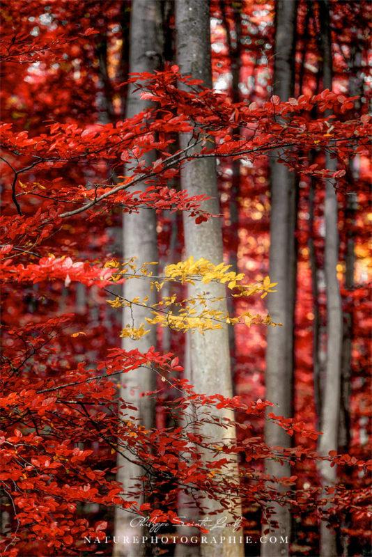 Forêt rouge en automne