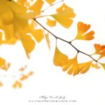 Ginkgo jaune en automne