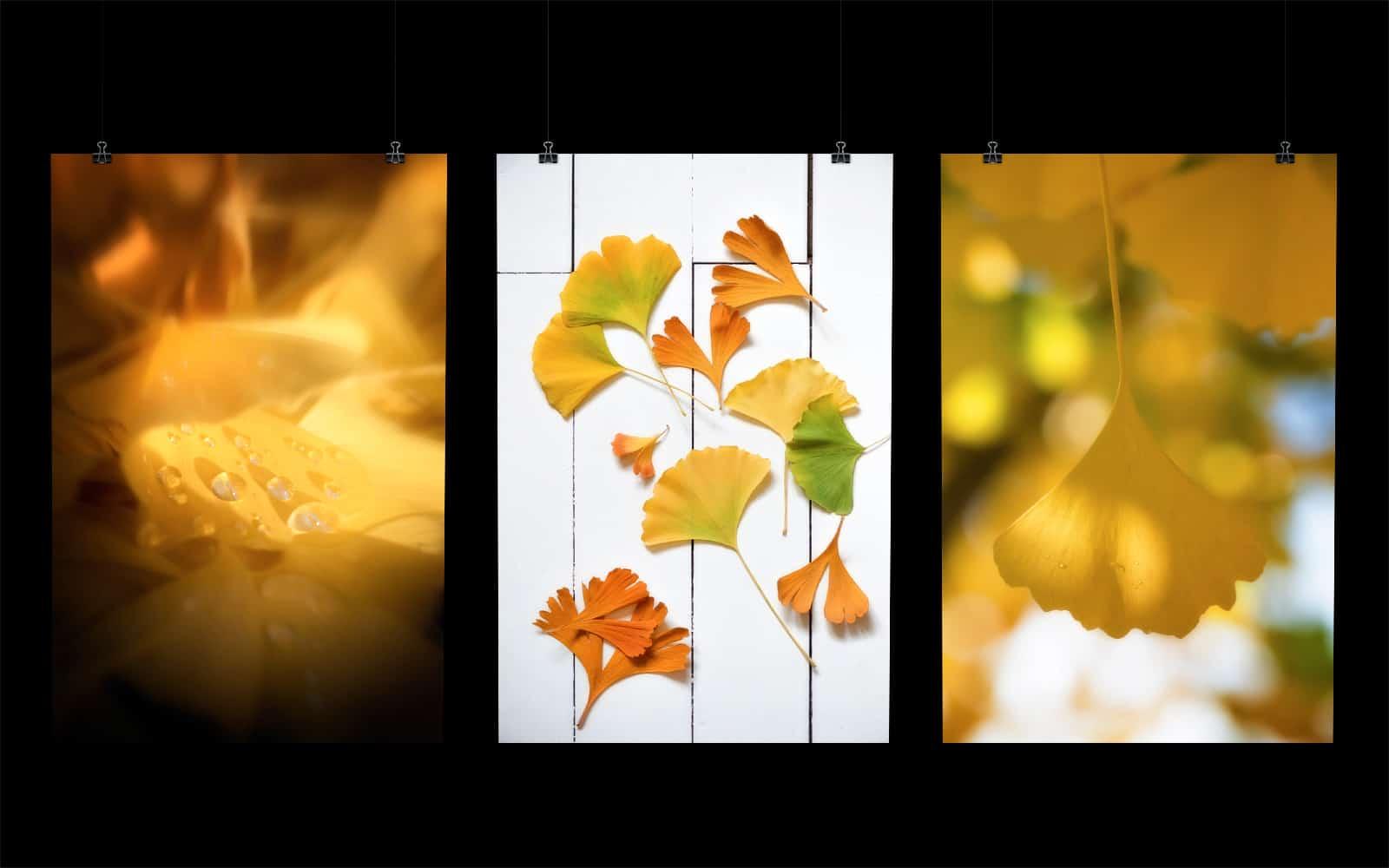 Posters de feuilles de Ginkgo