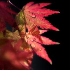Feuilles rouge d'érable du Japon