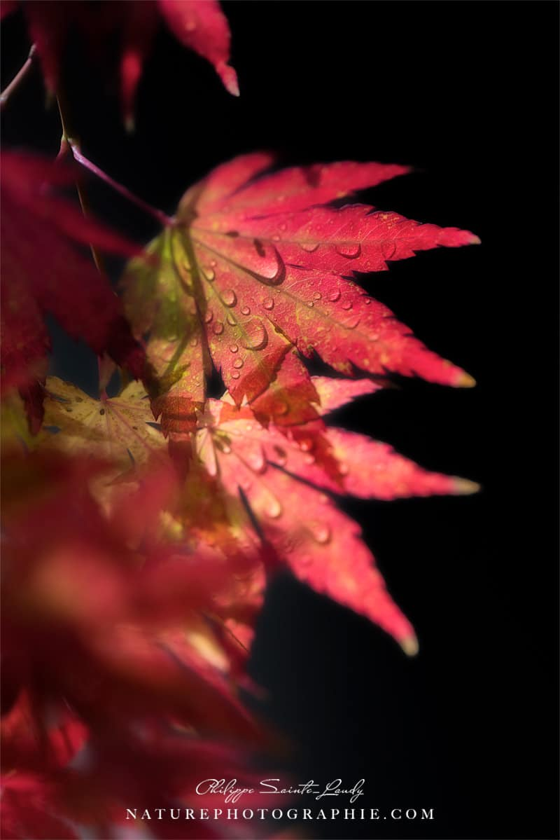 Feuilles rouge d 39 rable du japon nature photographie - Feuille erable du japon ...