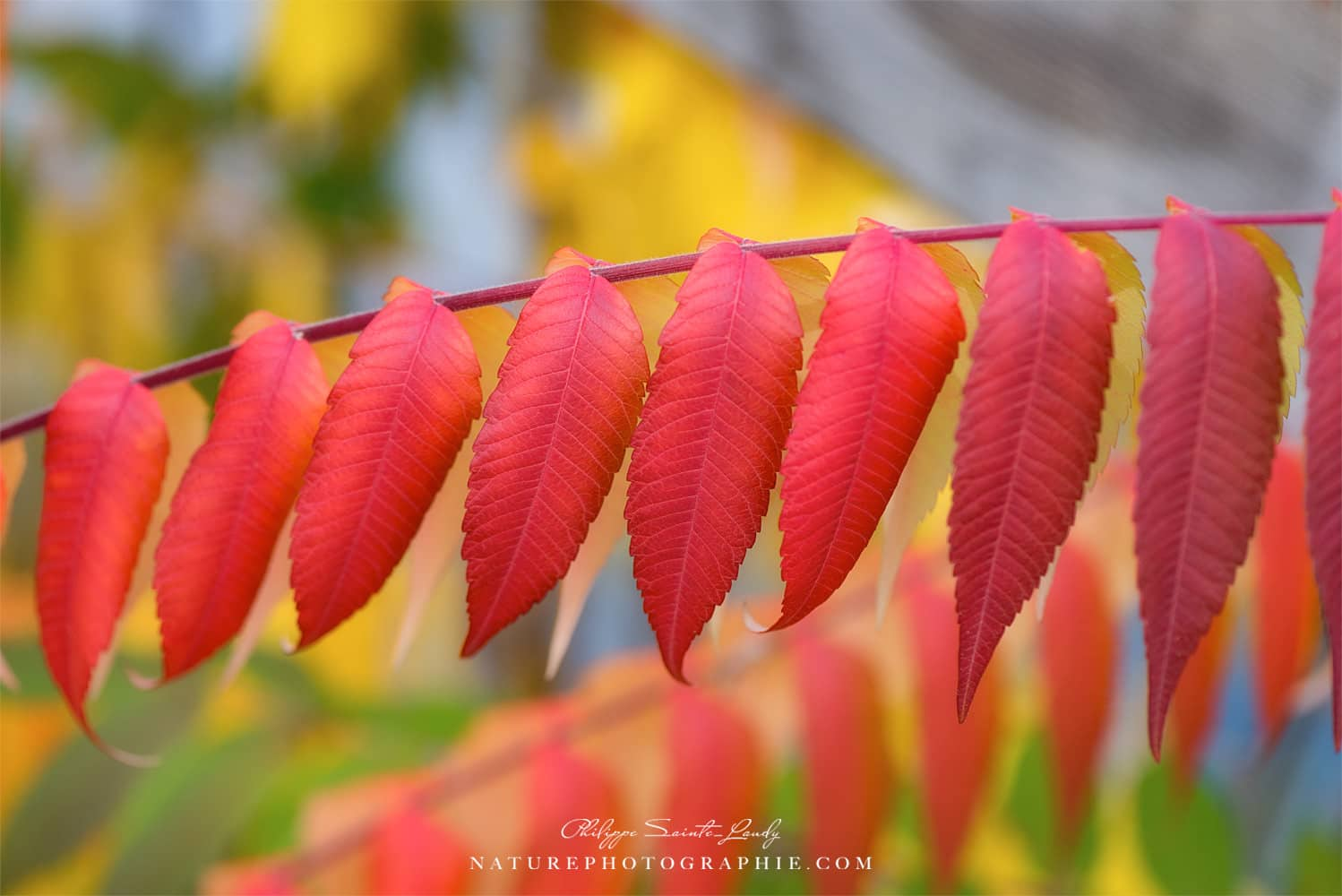 Red leaves of a Virginia Sumac