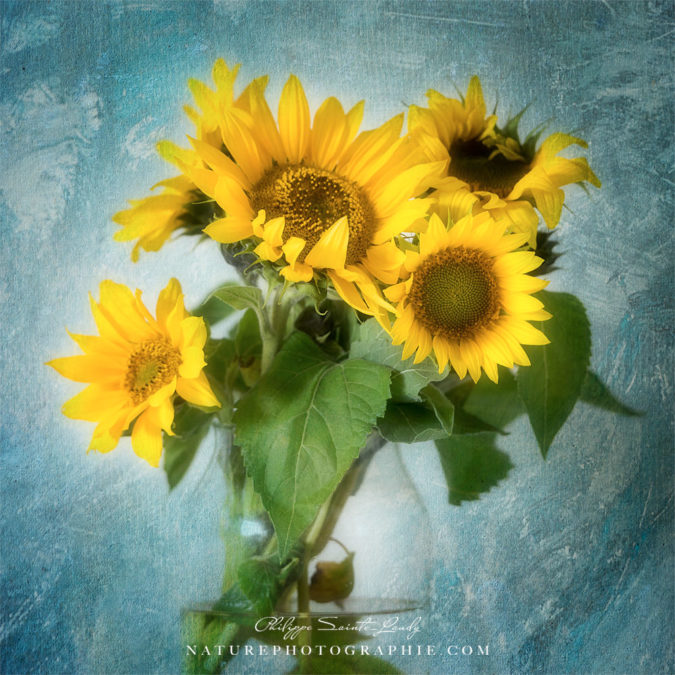 Photo de tournesols