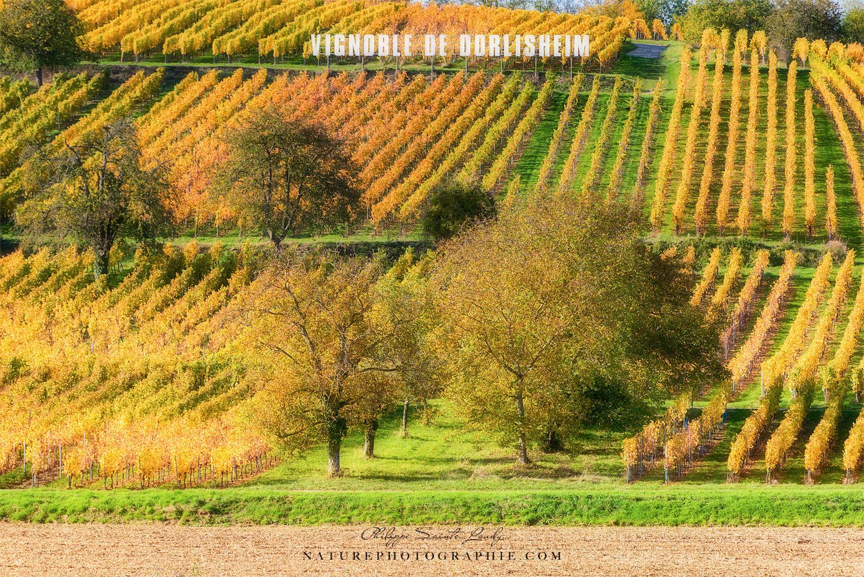 Vignoble de Dorlisheim