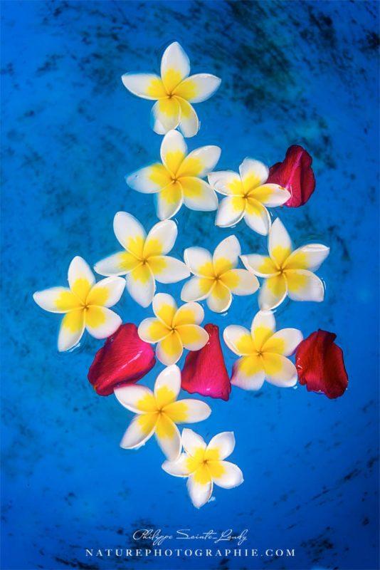 Fleurs de frangipanier dans de l'eau bleu