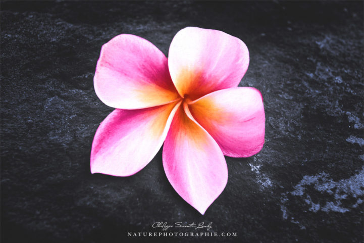 Fleur de frangipanier rouge