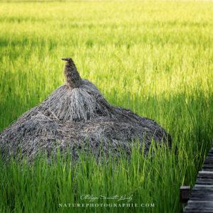 Paquet de paille au bord d'une rizière au Laos