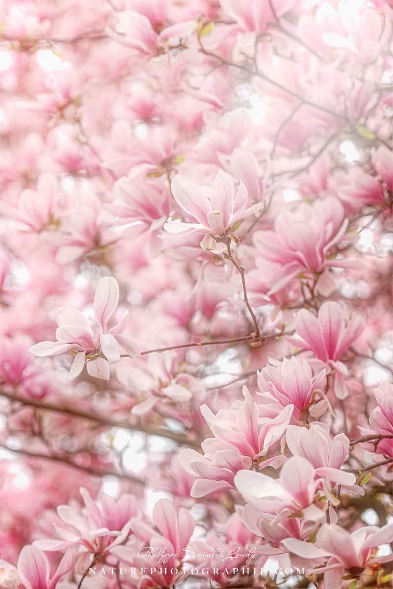 Fleurs de magnolias en avril