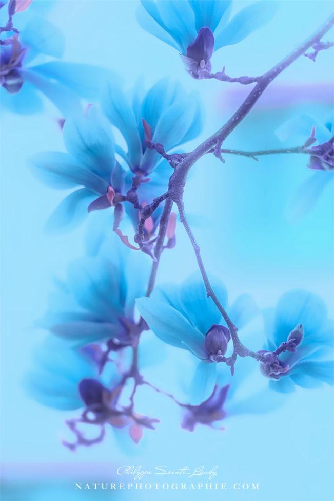 Magnolias Blues
