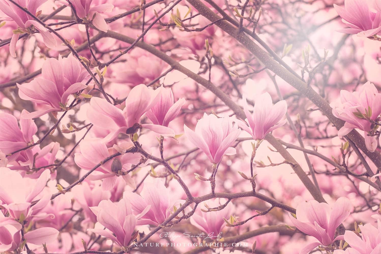 Magnolias en fleurs en avril