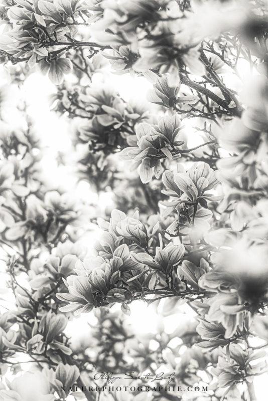 Magnolias en noir et blanc