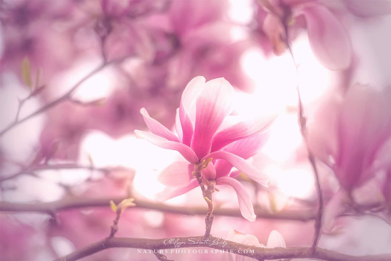 Lumière rose autour d'un magnolia