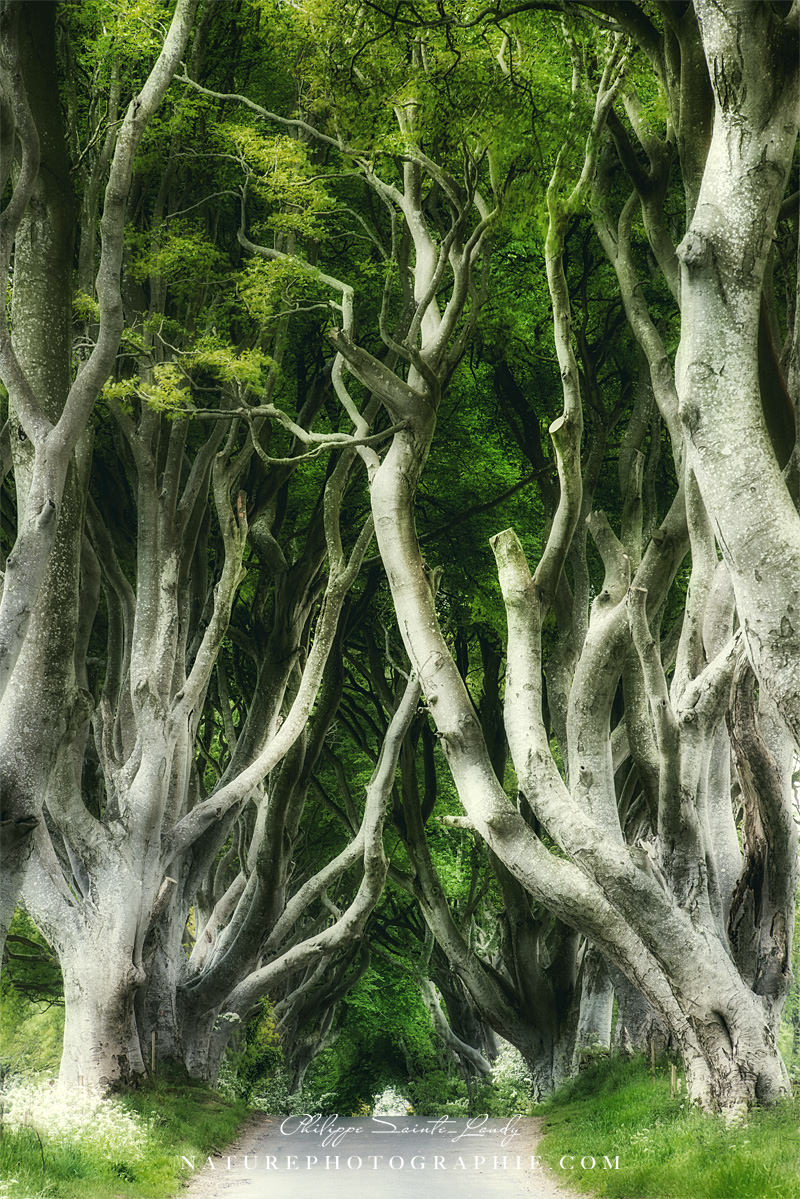 Dark Hedges - Des arbres surprenants en Irlande du nord