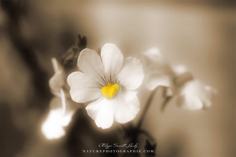 Photo de fleurs en Sépia