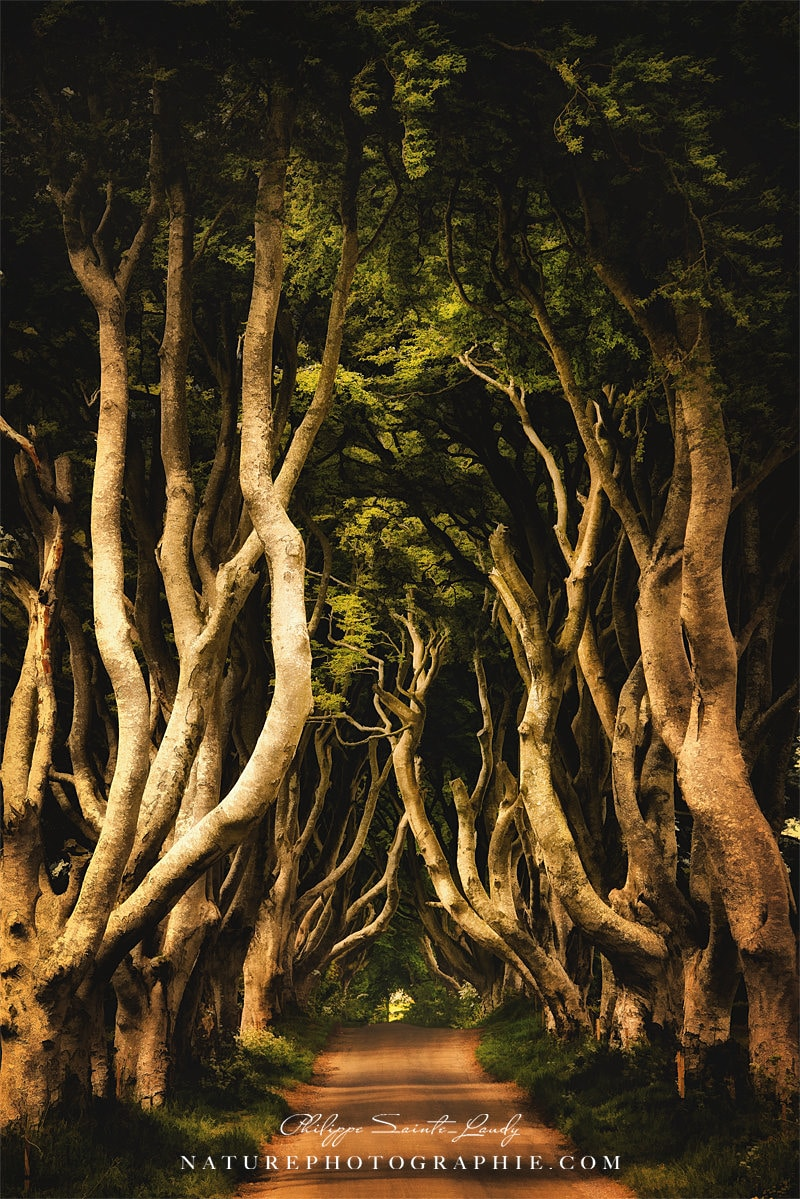 Dark Hedges - Irlande