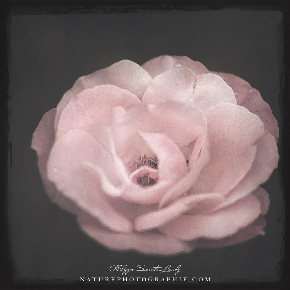 Rose et texture