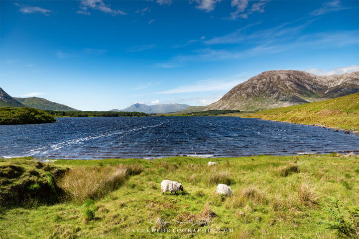 The Sheep of Connemara