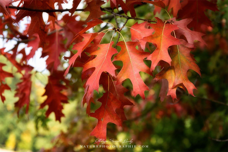 Feuilles de chêne en automne
