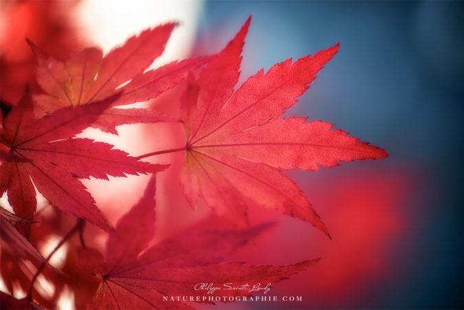 Rouge Érable