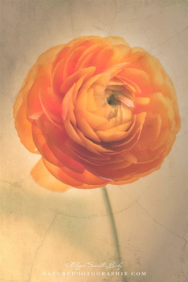Buttercup Orange