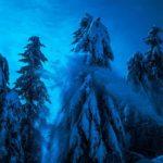 Blue Firs